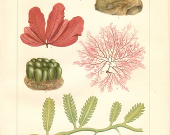 1913 Seaweeds, Marine Algae, Green Algae, Red Algae Antique Chromolithograph