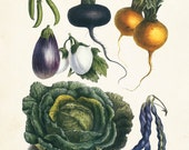 French Vegetable Print No. 21 - Botanical Print - Giclee Canvas Print - Posters - Wall Hanging Multiple Sizes Starting at USD 15.00+