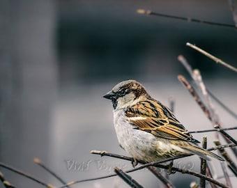 Sparrow Photograph, Bird Art Print, Nature Photography, Brown Decor, Animal Art Print, Bird Photograph, Winter Bird Photo, Wildlife Photo
