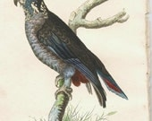 Antique Bird Hand-colored Bird Print, George Shaw & Frederick Nodder, Dusky Parrot, c1800