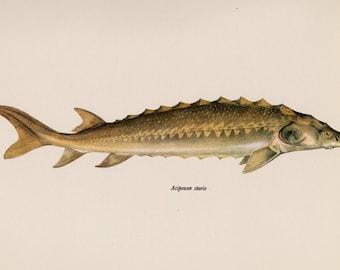 Fish Print Vintage Fish Wall Art  Fish Art Print Fishing Decor Lake House Decor STURGEON Fish Plaindealing 1478