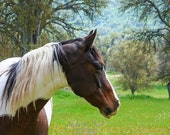 Quarter Horse Photography, western wall art, paint horse photo, ranch decor, equine art, 5x7 8x10 11x14 fine art print