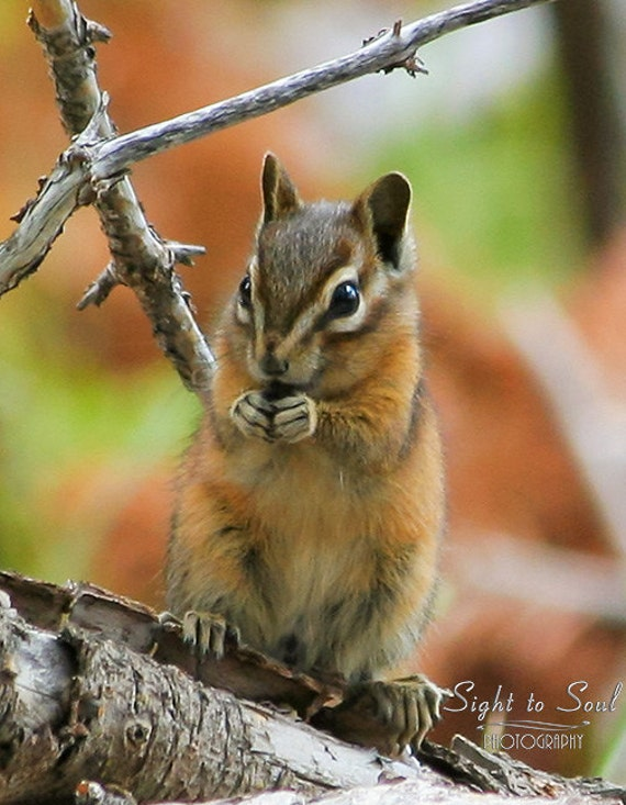 Cute Chipmunk Photo, wild animal photography, nature wall art, rustic woodland decor, fall colors, fine art print