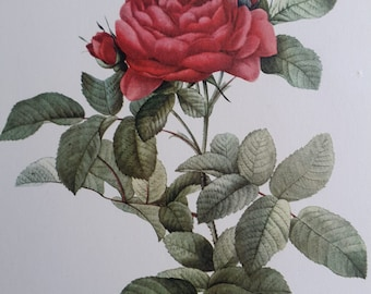 Vintage Red Rose Botanical Print by Pierre Joseph Redoute