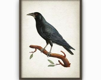 Antique Raven Bird Illustration Wall Art Poster - Vintage Crow Bird Book Plate Wall Art - Bird Picture (B206)
