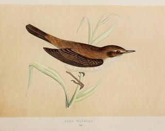 Reed Warbler Print. Original 1851 Antique Hand Coloured Bird Print by Reverend F. O. Morris