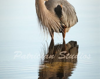 Great Blue Heron and Reflection (C100)