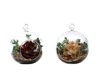 Succulent Terrarium Duo: Graptopetalum, Aeonium Purple Rose, and Oscularia
