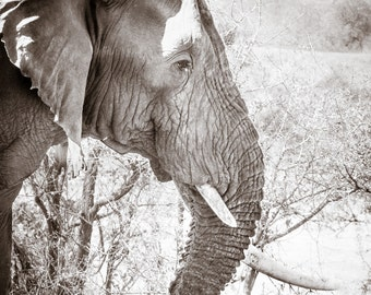 Elephant Picture, Pictures of Elephants, Elephant Photographs, Elephant Art, Fine Art - Limited Edition Print of 20!