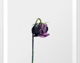 Purple Rose Photography Print