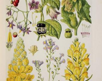 Antique Botanical Print : British Wild Flowers of Wasteland - Bittersweet, Deadly Nightshade, Henbane, Mullein, Toadflax