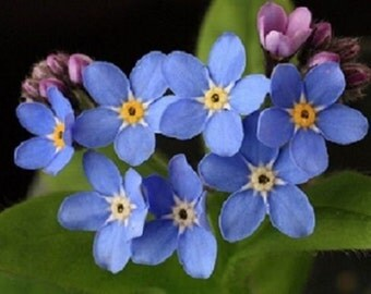 250 Bobo Blue Seeds FORGET ME NOT Flower Seeds