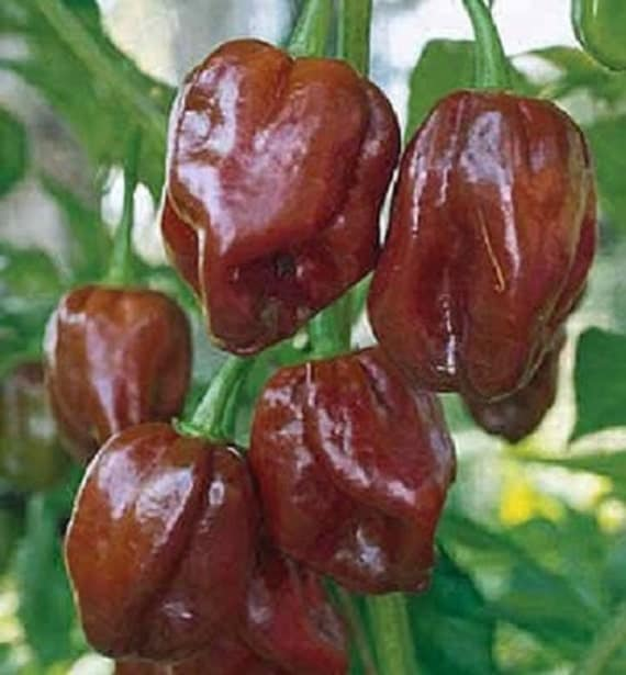 25 Seeds Habanero Jamaican Hot Chocolate Pepper Seeds
