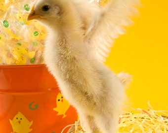 Happy Chick, Chicken, Rooster, Yellow, Easter, Baby, Wings