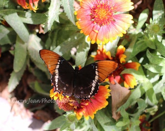 Rusty-Tipped Page Butterfly