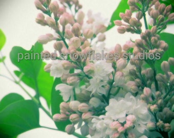 Lilacs Pink Flower Photograph Nature