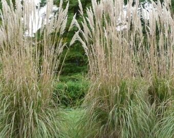 New Home Garden Plant 5 Seeds Cutting Flower Plume Grass Erianthus Ravennae Seeds