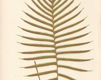 Fawcett Fern 1872 - Blechnum Cartilagineum