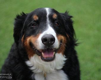Happy Dog - Bernese Mountain Dog - Bernese Dog Art - Dog Photography - Dog Wall Art - Dog Photo - Dog Portrait