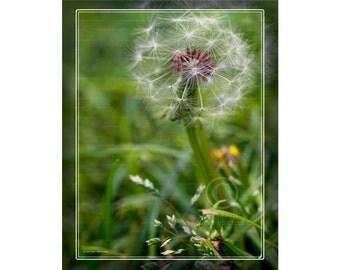 Photo: Dandelion Macro 6543, Floral Photo, Burgundy Flowers, Nature Photo, Wall Decor Photo, Fine Art Photography Print [grn]