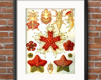 Starfish Poster, Starfish Art Print, Ernst Haeckel Art Nouveau Starfish Illustration, Nautical Art Print, Undersea Marine Life Art - 0396