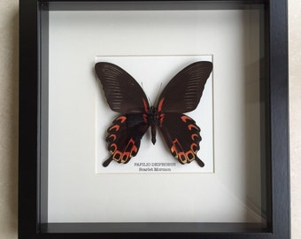 Scarlet Mormon Butterfly Frame