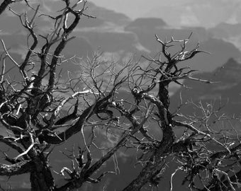 Nature Photograph - Canyon Tree