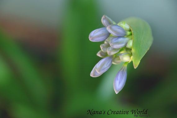 Purple Agapanthus flower- close-up photography