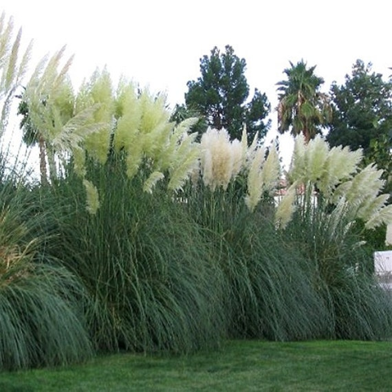 Ten white pampas grass cortaderia selloana 10 evergreen for Giant ornamental grass