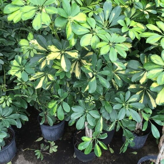 Dwarf Variegated Hawaiian Schefflera BRAIDED Plant 2 Gallon Pot 3