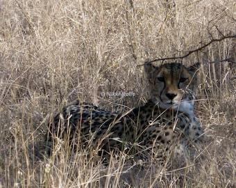 Cheetah mum relaxing