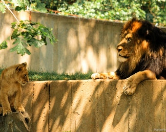 Wildlife Photography-Lion and Cub