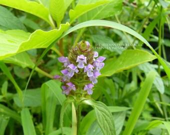 50 Organic Self Heal Seeds - Heal All - Prunella Vulgaris - Medicinal Herb - Beyond Organic - Open Pollinated - Non GMO
