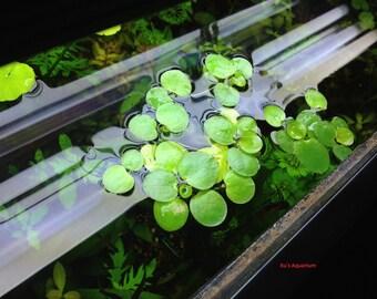 Amazon frogbit, Limnobium laevigatum, Live Aquarium/Aquatic/Floating/Pond Plant