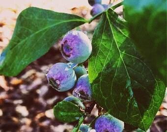 Original Fine Art Digital Photograph Giclee Print:  Blueberry Smile