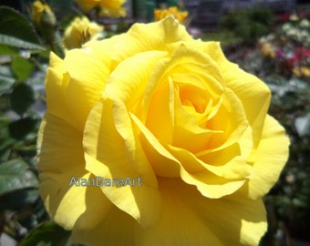 Yellow rose, flower photography, wall art, original photo print, good on any wall