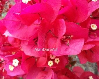 Scarlet Ohara bouganvilla, flower photograph, print, wall art, fine art