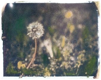 Polaroid transfer - Dandelion (hand-colored)