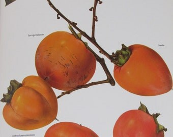 Persimmon, Color Plate, 7.75 x 11.5 in, Vintage Book Page Illustration by Marilena Pistoia, Unframed Print