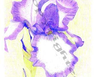 Iris Colored Pencil Drawing