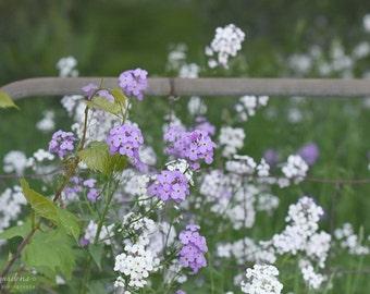 purple & white phlox - delicate wildflowers -flower photography - garden gate (5 x 7 Original fine art photography prints) FREE Shipping