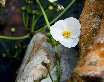 Flowering Vine Photographic art print - Aquatic Flowering Vine 5x7 photograph