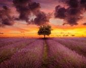 Lone Tree in the Lavender Fields Sunset 8x10 Fine Art