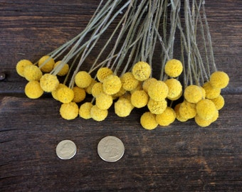 Craspedia, Billy Buttons,Drumstick Flower, Billy Balls, 50 medium