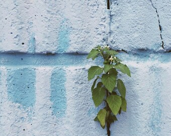 Plant on blue wall. Queens, NY