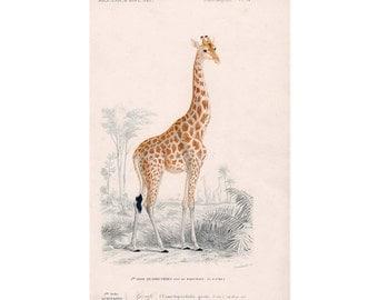 GIRAFFE safari series AFRICAN mammal print