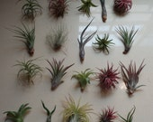 SALE 10 Pack Assorted Tillandsia-Easy Care Collection/Varieties