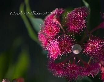 native corymbia flower,pink flower,wall art,flower wall art,fine art photography,flower print,pink,green bokeh,square print