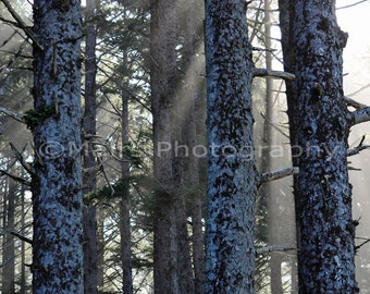 Forest Trees Pacific Northwest, Quiet Winter Mist Sunlight, Morning Light, Fine Art Photography, signed matted 8x12 Original Photograph