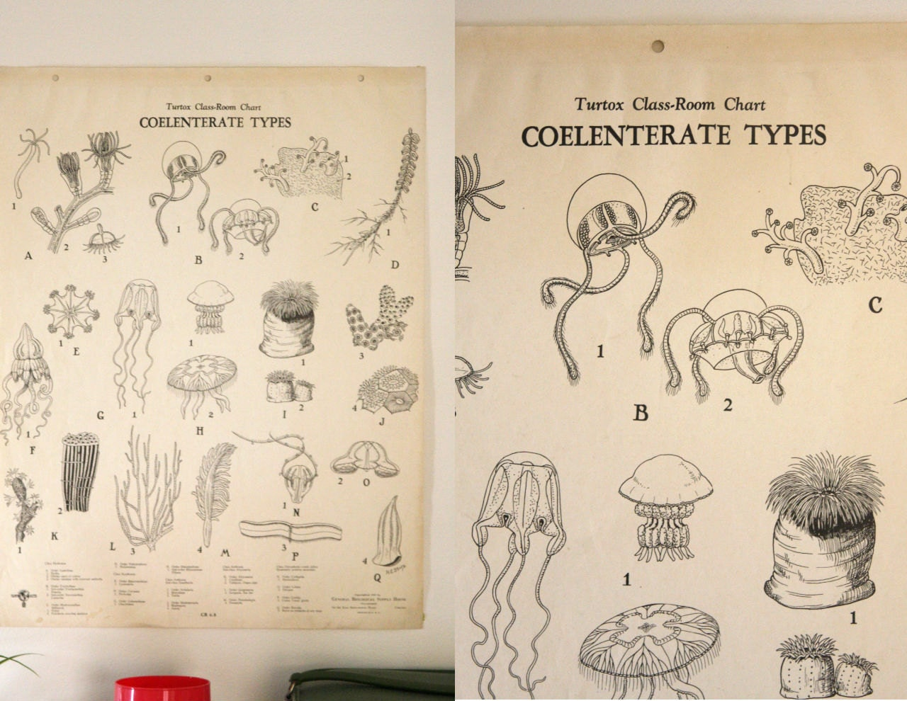 Vintage 1940s Science Chart Coelenterate Types Turtox
